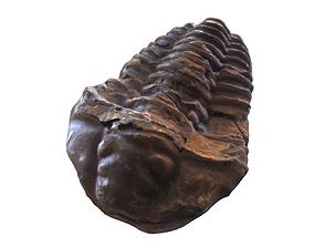 Fossil Trilobites 3D asset