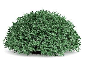 3D Round Boxwood Plant Buxus sempervirens