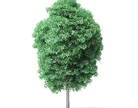 American Basswood Tree 3D Model 8m american