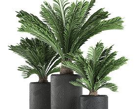Decorative Cycas palm in a black flowerpot 624 3D
