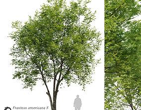 Fraxinus americana- White ash 3 3D model