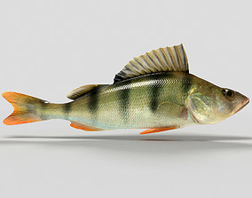 Perch fish 3D