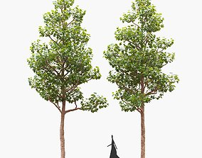 3D garden Pollarded London planetree 11m