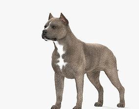 American Pit Bull Terrier HD 3D