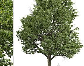 3D Set of Silver Linden or Tilia tomentosa Trees - 2 Trees