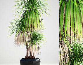 Dracaena palm 3D