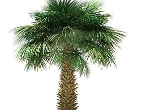 Sabal Palm Tree 3D Model 4m palm