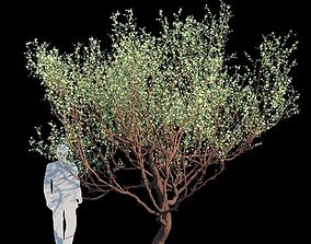 3D Eucalyptus Websteriana