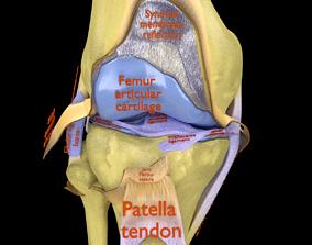 3D Knee joint cut open detail labelled