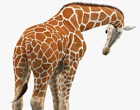 Giraffe Rigged 3D asset game-ready