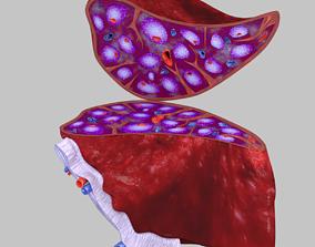 splenomegaly 3D Spleen Anatomy Microscopy Labelled