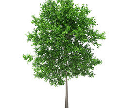 3D model Sugar Maple 7point3m