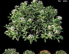3D model ixora plant set 27