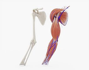 Arm Muscles Bones and Veins Animated 3D