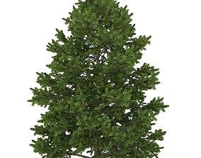 3D asset Balsam fir