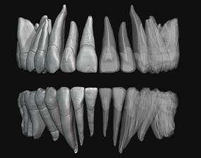 Human Teeth HQ with Pulp cavity 3D printable model