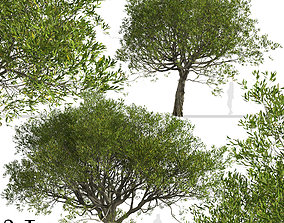 3D model Set of Acacia melanoxylon or Australian blackwood