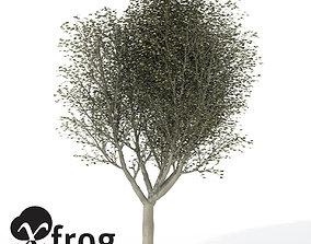 XfrogPlant Silver Linden 3D model