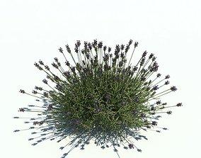 3D model Lavender Plant