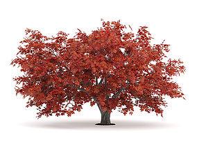 Japanese Maple Acer Palmatum 2 3D model