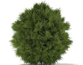 3D model White Cedar Thuja occidentalis 1m