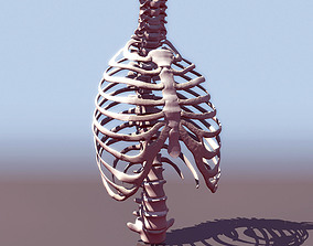 3D model Human thorax