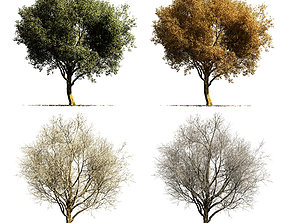 Sycamore chinar tree 3D model