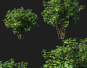 Viburnum dentatum tree 3D model
