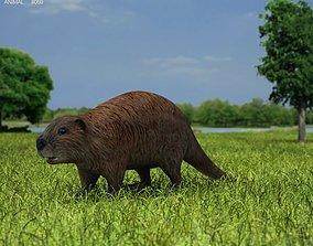 Beaver Castor Canadensis 3D asset