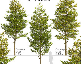 Set of Overcup Oak or Quercus lyrata Trees - 3 Trees 3D