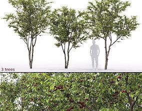 Cherry-tree 01 3D model