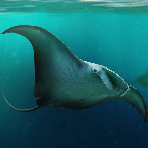 Manta Birostris - The Great Manta Ray
