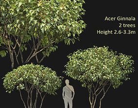 ball-shaped Acer Ginnala 04 3D
