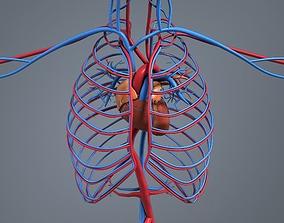 Blood circulation system 3D model VR / AR ready
