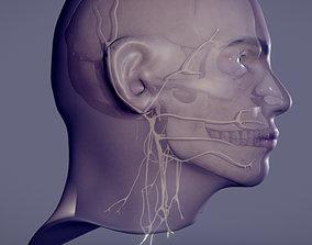 3D model Head Skull Cranial Nerves