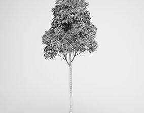 Sugar Gum Tree 3D model